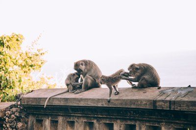 A Family Of Monkeys Tend To Their Beauty Care