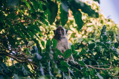A Monkey Sits In The Foliage