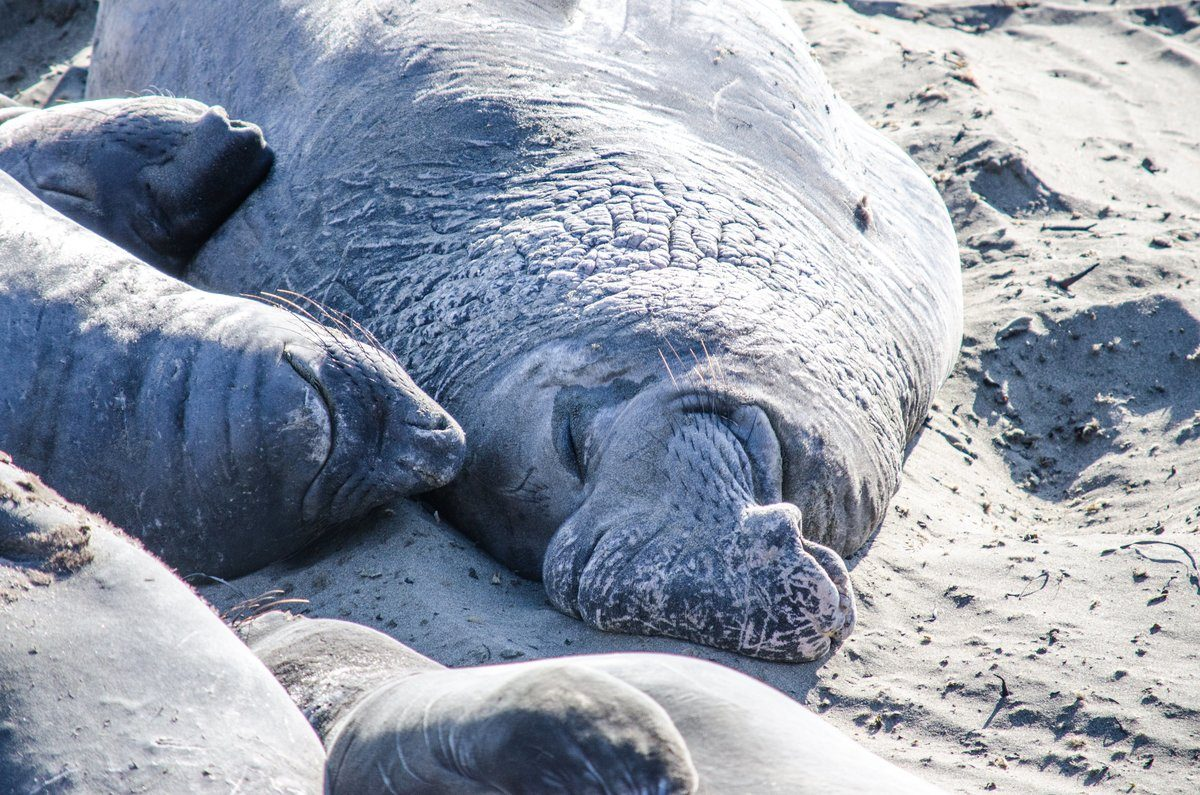 A Mummy Walrus And Pups Nap In The Sand