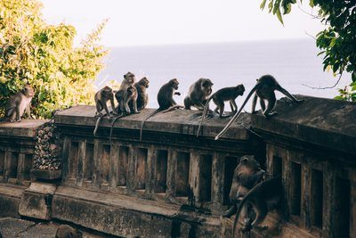 A Tribe Of Monkeys Spectate Collectively