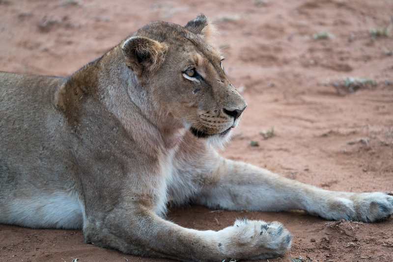 Adult Lioness Lying on Ground