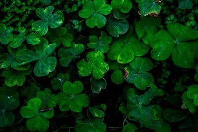 Closeup Of Clover Leaves
