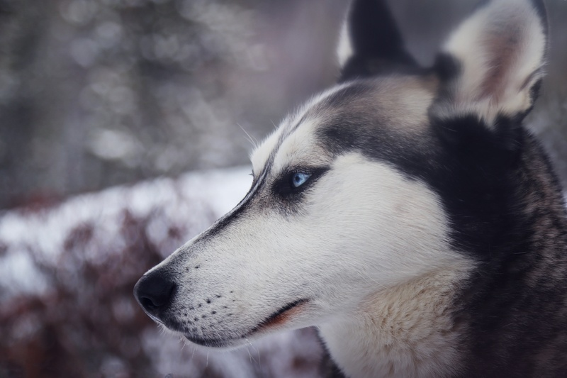 Closeup Photography of White And Black Wolf