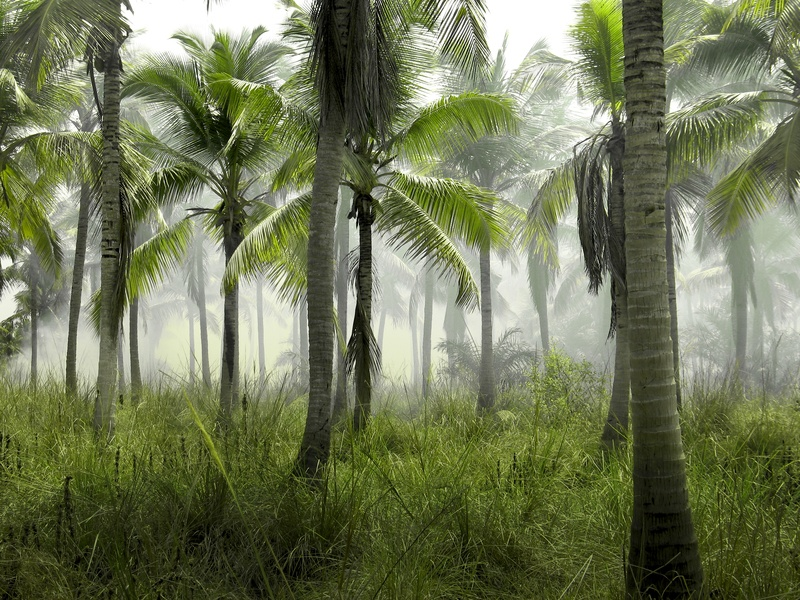 Coconut Trees in Forest Covered with Mist