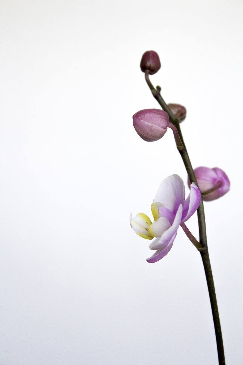 Delicate Orchid Bloom And Buds