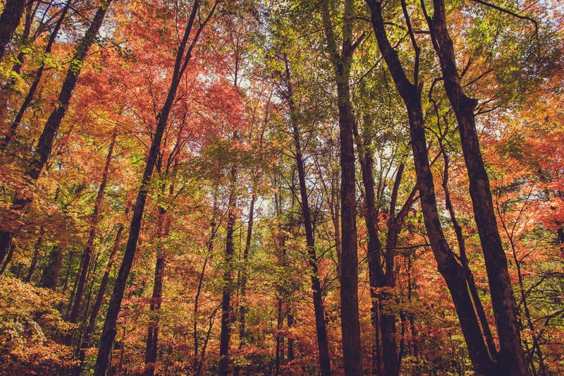 Fall Forest Trees