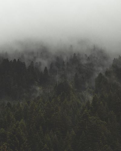 Fog And Mist Roll Over Tall Evergreen Forest