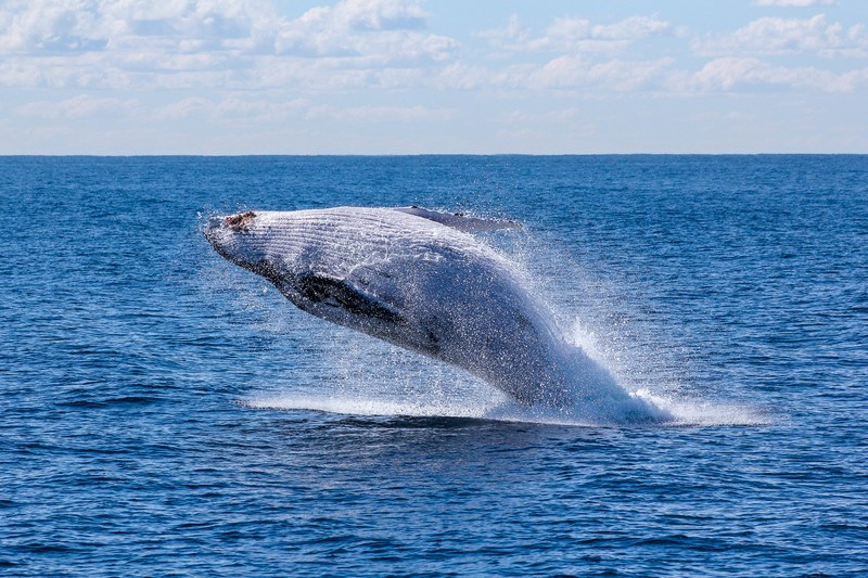 Gray Whale Jumping on Sea
