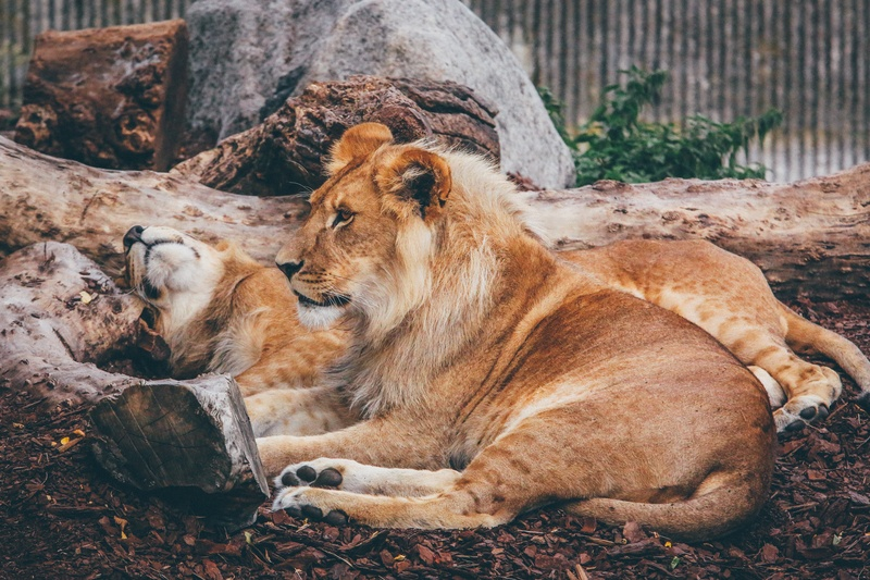 Lion And Lioness Lying on Brown Surface