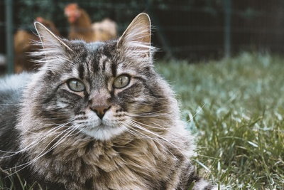 Maine Coon Cat Lying on Grass