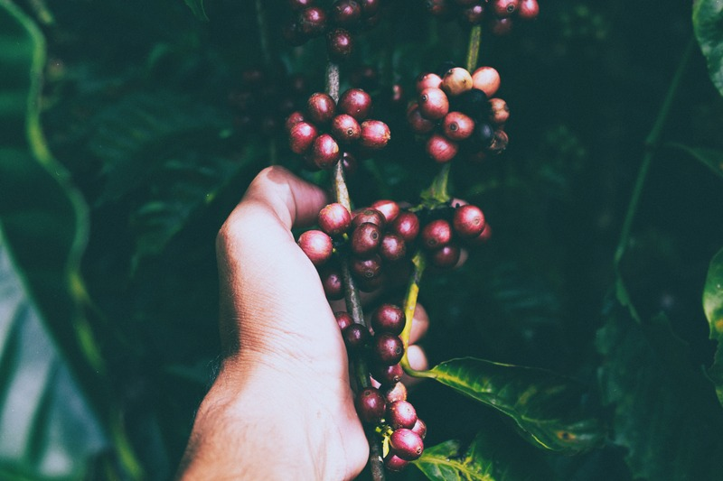 Person Holding Red Berries on Stem