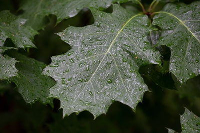 Rain Droplets on Leaves