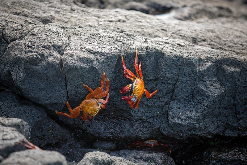 Red Crabs On Rocks