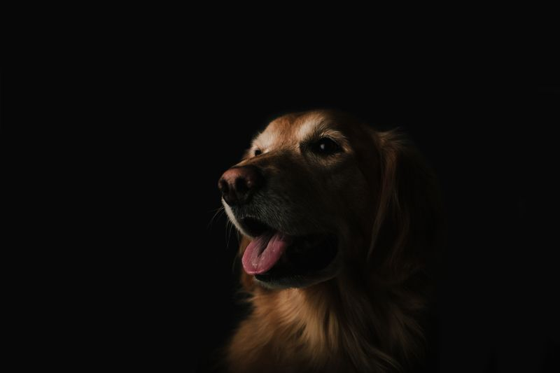 Short-Coated Brown Dog Showing Tongue