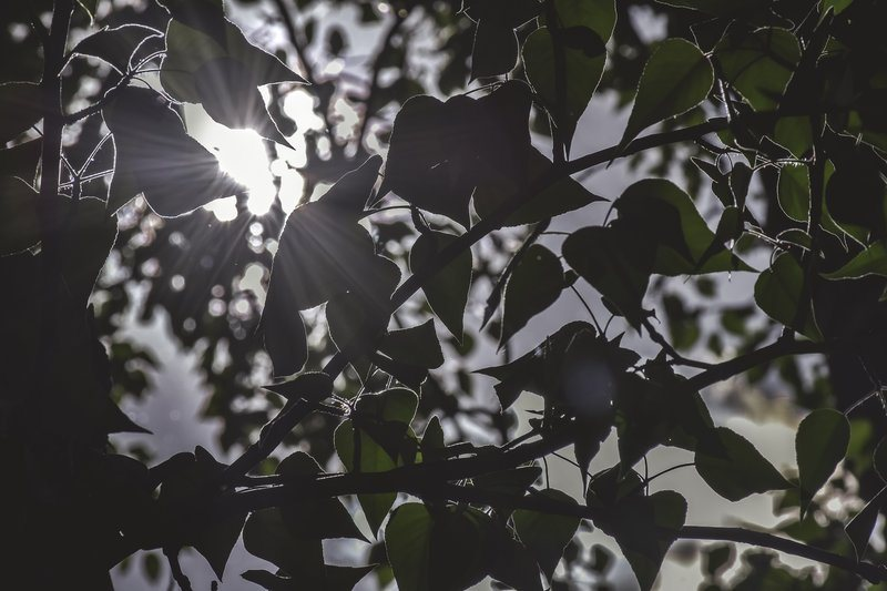 Sun Through Poplar Tree Leaves
