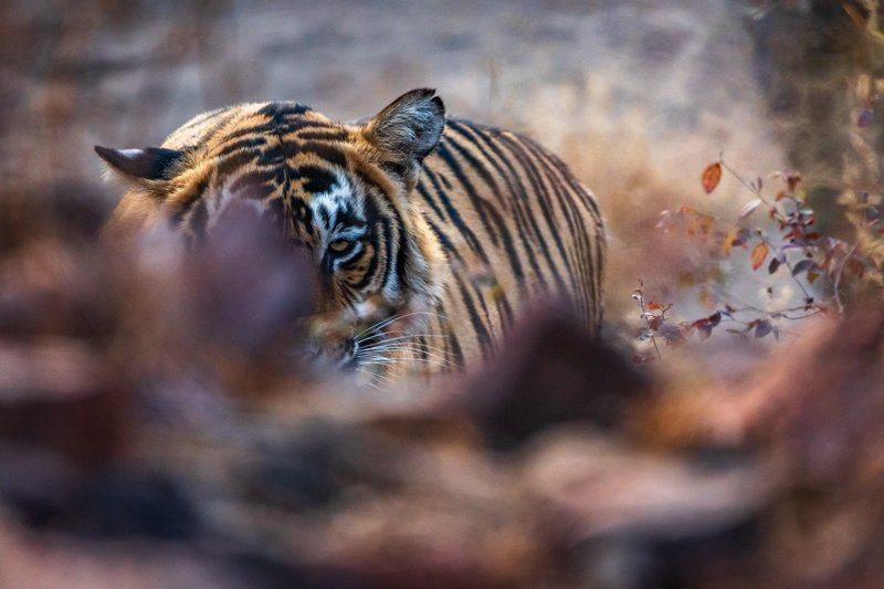 Tiger Resting On Forest Floor