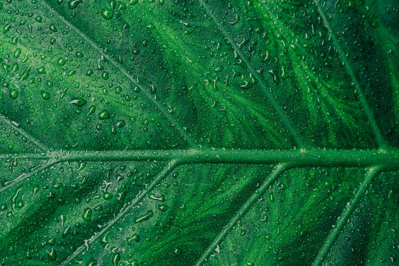 Water Droplets on Green Leaf