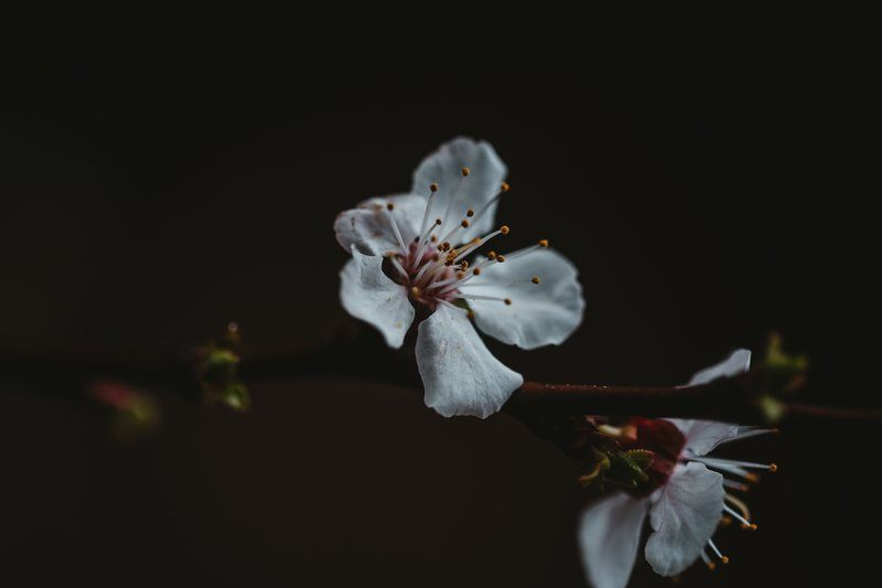 White Petals Of A Flower Bright Against The Dark